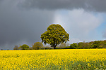 Dark rain clouds passing sunlit field of yellow oil seed rape with one oak tree standing, Suffolk, England, UK