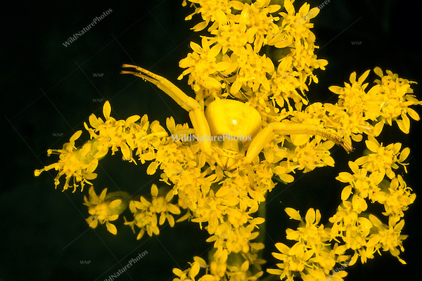 A Yellow Crab Spider (Misumena vatia) uses camouflage to hunt prey on Goldenrod flowers