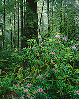 Jedediah Smith Redwoods State park, CA: Flowering Rhododendron (R. macrophyllum) in an old growth forest of Redwood and Douglas Fir