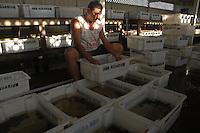 """AntÙnio Wilson de Souza Cruz, 34 anos, Cearense de Madalena trabalha a sete selecionando peixes para exportaÁ""""o, todos os dias classifica milhares deles que s""""o retirados do rio Xingu por uma das dezenas de empresas de exportaÁ""""o de peixes ornamentais do Xing˙..Altamira, Par·, Brasil.10/02/2006Foto Paulo Santos/Interfoto"""