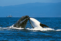 killer whale, Orcinus orca, attacking gray whale, Eschrichtius robustus, calf, being rammed by hunting killer whale, Monterey Bay National Marine Sanctuary, Monterey, California, USA, Pacific Ocean, 3 of 4
