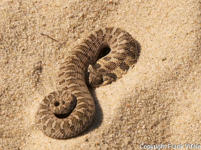 """Young Hognose Snake Playing """"Dead"""" in a  Cape Cod Sand Dune"""