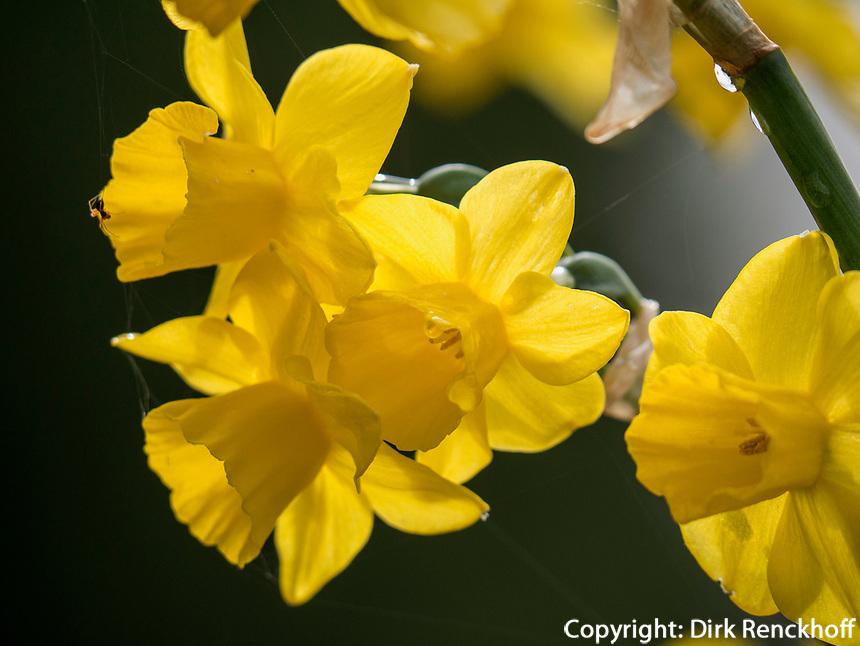 Osterglocke, Bodensee - Insel Mainau, Baden-W&uuml;rttemberg, Deutschland, Europa<br /> daffodil, Isle of Mainau, Lake Constance, Baden-W&uuml;rttemberg, Germany, Europe