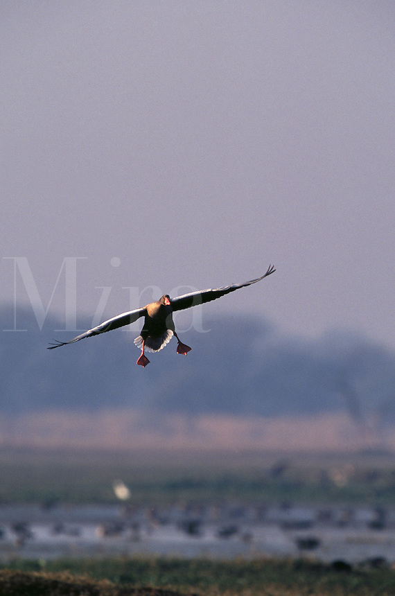 Greylag goose coming in for a landing.