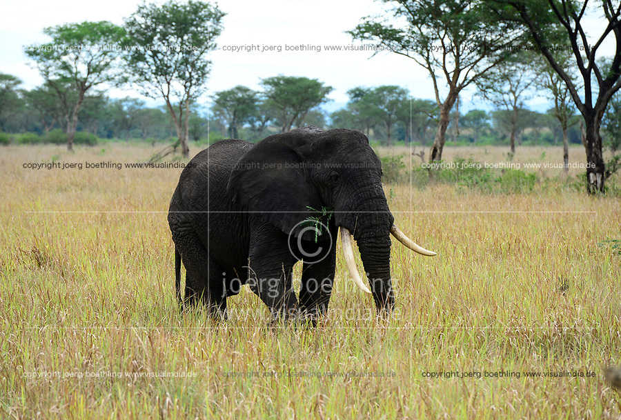 UGANDA, Kasese, Queen Elizabeth Nationalpark, elephant/ Elefant im Queen Elizabeth Nationalpark