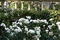Under the grey stone balustrade of the terrace an entire border has been planted with white roses to stunning effect