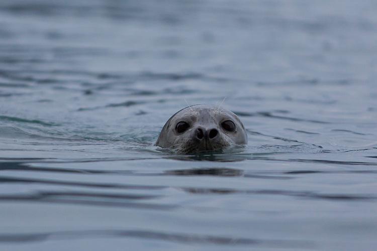 A curious harbor seal peers out of Resurrection Bay near Seward, Alaska.