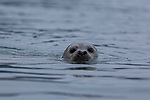 A curious harbor seal peers out of Resurrection Bay near Seward, Alaska.