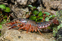 414490007 a wild pocambarus species of crayfish sits in aquatic plants in a small pond on a ranch in south texas