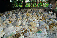 bags of eggs of olive ridley sea turtles ( 200 eggs/ bag ) fill the warehouse at Ostional cooperative ( ADIO ) during arribada ( egg harvest is legal and controlled ), Playa Ostional, Costa Rica, Pacific Ocean