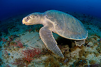 Kemp's ridley sea turtle, Lepidochelys kempii, critically endangered species, Palm Beach, Florida, USA, Atlantic Ocean