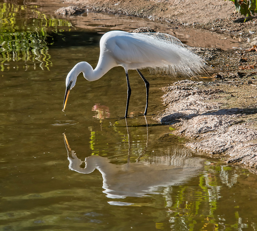 A great egret looks down at the surface of a pond, appearing to contemplate its own reflection.