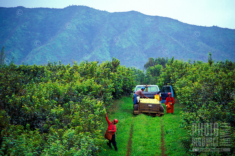 Workers harvesting guava at Kilauea Agronomics, Inc., Island of Kauai