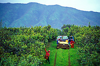 Workers harvesting guava at Kilauea Agronomics, Inc., Island of Kauai