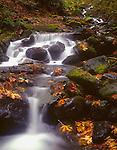 Mt. Baker-Snoqualmie National Forest, WA<br /> Autumn leaves of Big Leaf Maple (Acer macrophyllum)  cover the black boulders on Fossil Creek
