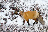 01871-02806 Red Fox (Vulpes vulpes) in snow in winter, Churchill Wildlife Management Area, Churchill, MB Canada