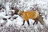 01871-02806 Red Fox (Vulpes vulpes) in snow in winter, Churchill Wildlife Management Area, Churchill, MB Canada