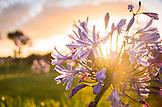 NEW ZEALAND, West Coast, Flower at Sunset, Ben M Thomas