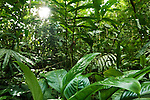 Katydid (Tettigoniidae) camouflaged in lowland rainforest, Tawau Hills Park, Sabah, Borneo, Malaysia