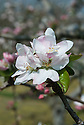 "Blossom of Apple 'Saint Edmund's Pippin' (syn. 'Saint Edmund's Russet'), late April. A late 19th century English dessert apple from Bury St Edmunds. ""Picked too early, when green, hard and disappointing, but really ripe can be ambrosial, like pear flavoured vanilla ice cream"" ('The New Book of Apples' by Joan Morgan and Alison Richards)."