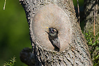 Star, an natürlicher Bruthöhle, Baumhöhle, Nisthöhle, Nest, Sturnus vulgaris, European starling