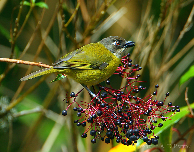 Common bush-tanager feeding on berries