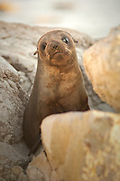 New Zealand Fur Seal pup, Kaikoura, New Zealand
