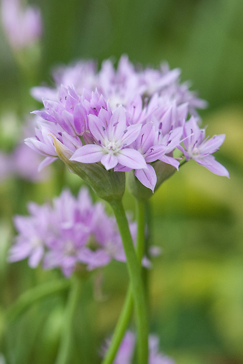 Allium 'Eros', mid May.