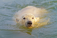 USA, Alaska, Arctic National Wildlife Refuge, A polar bear cub playing in the Arctic Ocean, polar bear, Ursus maritimus