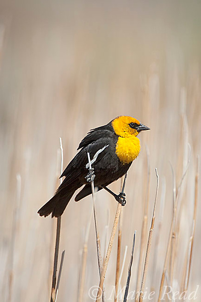 Yellow-headed Blackbird (Xanthocephalus xanthocephalus) male in cattail marsh, Mono Lake Basin, California, USA