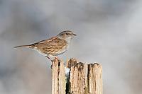 Heckenbraunelle, Hecken-Braunelle, Prunella modularis, Dunnock, hedge accentor, hedge sparrow, hedge warbler, L'Accenteur mouchet