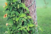 Lush green vine winding around a tree stub - Free Stock Photo.