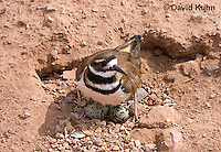 0510-1101  Killdeer, Adult Cooling Eggs in Hot Summer Sun by Shading the Eggs, Charadrius vociferus  © David Kuhn/Dwight Kuhn Photography