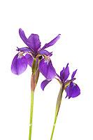 30099-00411 Blue Flag Irises (Iris versicolor) (high key white background) Marion Co. IL