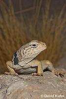 0612-1015  Great Basin Collared Lizard (Mojave Black-collared Lizard), Mojave Desert, Crotaphytus bicinctores  © David Kuhn/Dwight Kuhn Photography