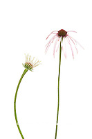 30099-00514 Pale Purple Coneflowers (Echinacea pallida) (high key white background)  Marion Co. IL