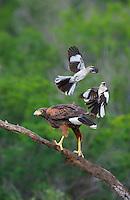 541950099 a wild harris hawk parabuteo unicinctus perches on a dead snag while being harrassed by two northern mockingbirds mimus polyglottos on santa clara ranch starr county texas