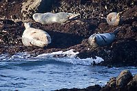 Harbor seals have hauled out and are resting, and warming themselves, at Bean Hollow State Beach, CA.