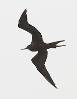 Adult male magnificent frigatebird. One of a large flock flying along the shoreline at Rockport in July. Most of the birds were females or juveniles.