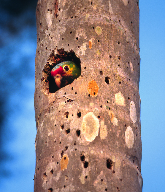 The RED-LORED PARROT (Amazona autumnalis) nests in unlined holes in dead palm stubs - TIKAL RUINS, GUATEMALA.
