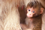 Japan, Nagano, Jigokudani, Snow Monkey Baby, Japanese Macaque, (Macaca fuscata)