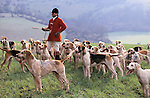 Crowley and Horsham Hunt. Fox hunting Sussex, UK. Huntsman with hounds, flushing out a cover with just a few hounds.