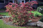 17206-CF Razzleberri Fringe Flower, Loropetalum chinense rubrum `Razzleberri', shrub, at Bakersfield