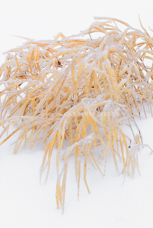Hakonechloa macra Aureola in winter snow and ice, Japanese Hakon grass