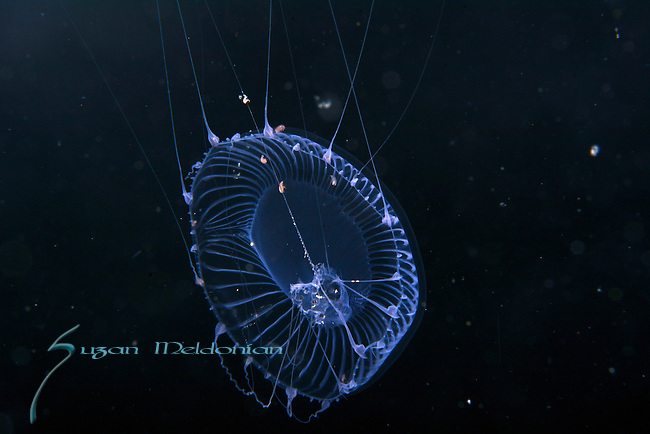 Jellyfish, Aequorea with amphipods