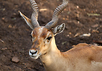 Antelope portrait with background of the blurred ground and soil