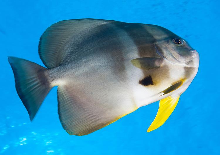 Longfin spadefish (Platax teira), Fathers reefs, Kimbe Bay