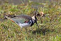 Kiebitz, frisst einen Wurm, Vanellus vanellus, lapwing