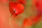 Poppy, Papaver hoeas, Acomb, Northumberland, UK