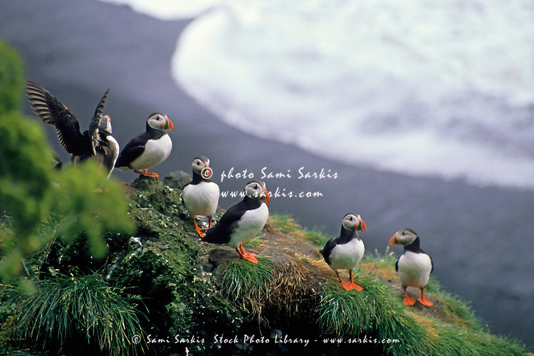 Six puffins perched on a rock, Vik, Iceland.